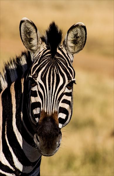 1-0824696-Zebra