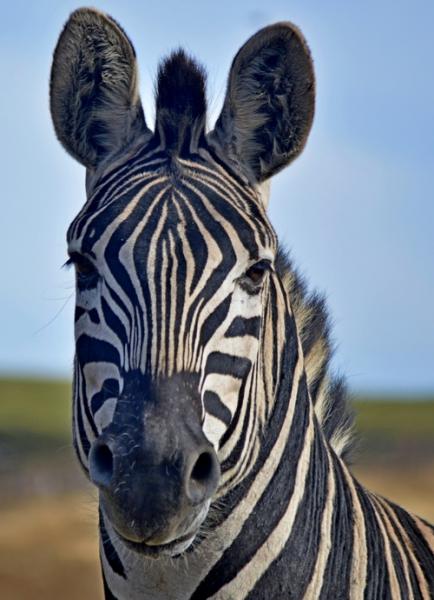 1-0828405-Zebra