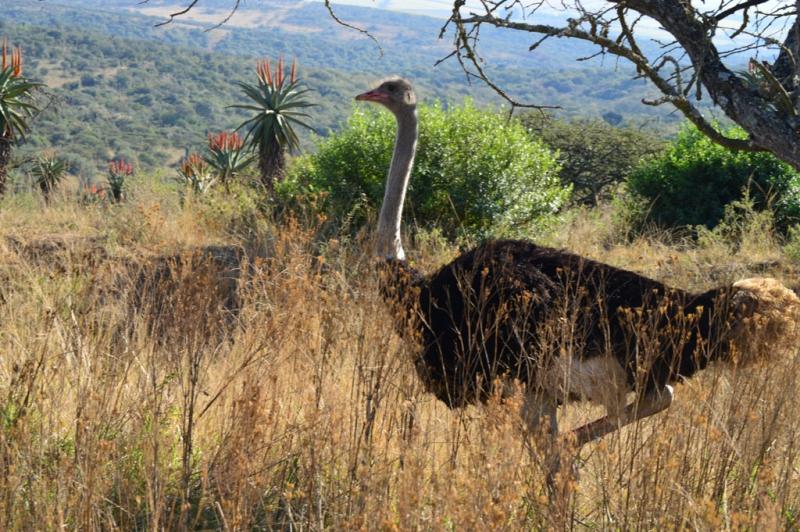 2-0827477-Mr Ostrich
