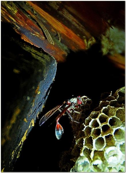 3-0824657-Wasp