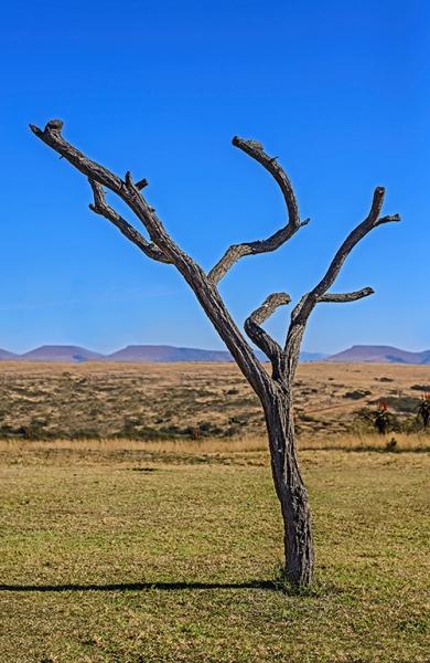 5-0828048-old tree