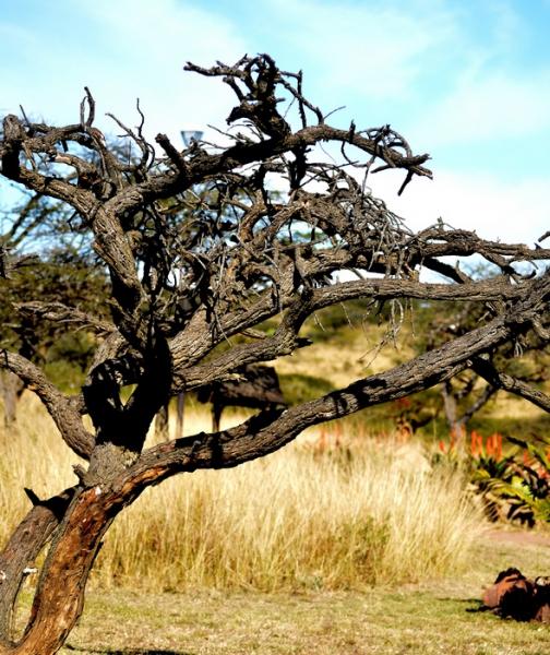 5-0828409-Tangled Tree