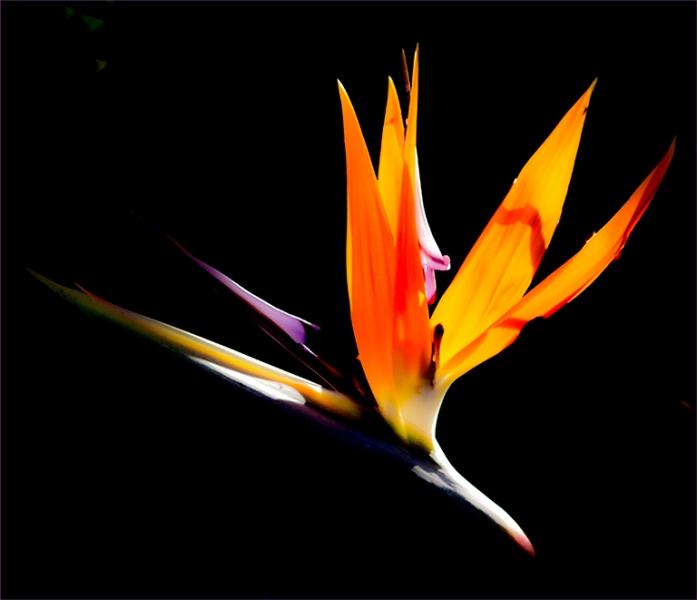 6-0824701-Bird of paradise