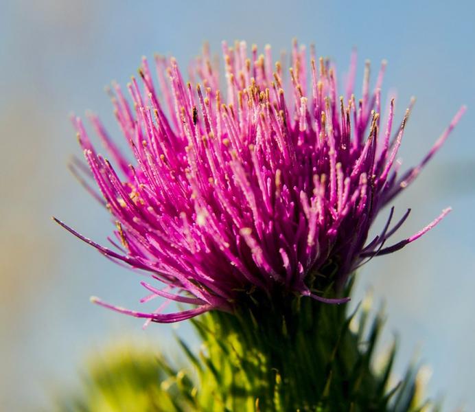 6-0827954-Thistle flower
