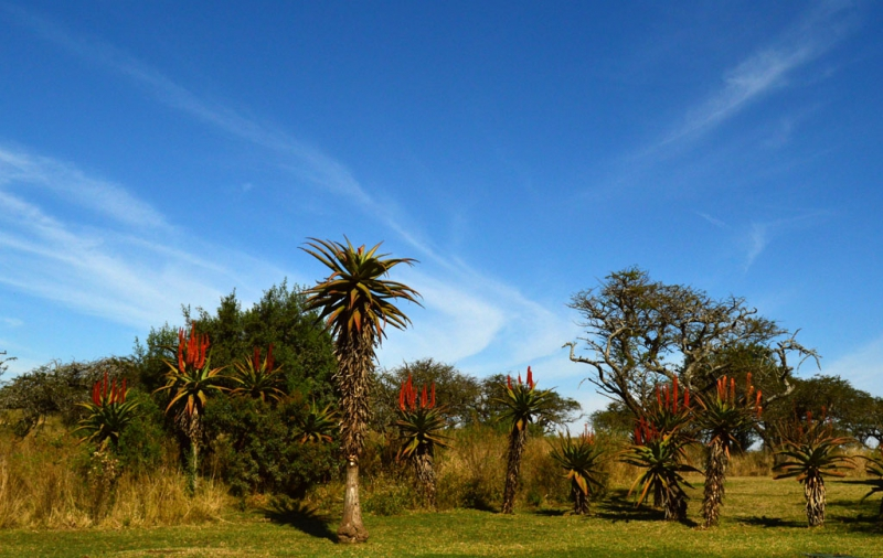 8-0827481-Aloes reach for the sky