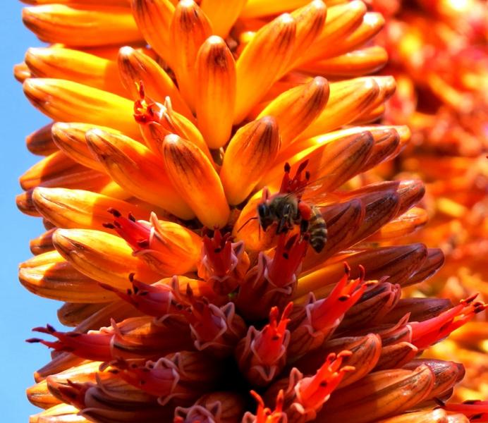 8-0828660-FLOWERING SUCCULENT