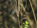 7-0827980-Whisk Grass