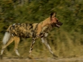 1-5 Star-0990975-Painted Dog Motion